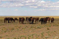Viele Pferdehintern, und eines, welches in Richtung Kamera blickt.